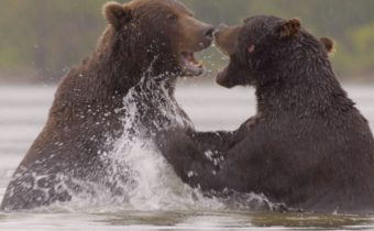 7 WER_STILLS_Habitat_Kamchatka_Two Brown Bears fighting in Lake Kuril – kopie
